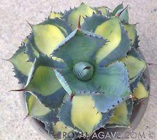Agave 'Rum Runner' Hybrid Medio Picta Aura  Rare Succulent variegated