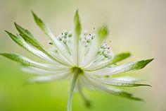 Astrantia 'Moira Reid' by Jacky Parker Floral Art, via Flickr