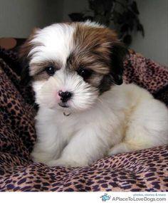 shih tzu newborn puppies - Google Search