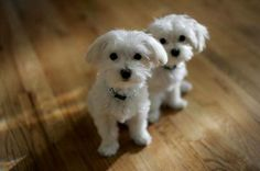 These Maltese Pups Are Two Cute for Words - This pair of Maltese puppies is absolutely adorable and sure to get away with anything and everything. Two can double trouble but you'd be hard put to discipline faces like these.