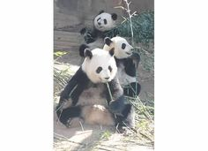 Lun Lun with Mei Lun and Mei Huan. #ZAFanFriday photo from Facebook user Lynn O.