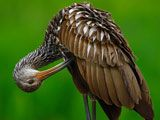 Wading Bird Pictures - National Geographic -- Limpkin