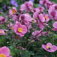 Anemone hupehensis 'Splendens' Höstanemon Japanese Anemone, Perennials, Flowers, Future, Inspiration, Biblical Inspiration, Future Tense, Royal Icing Flowers, Floral