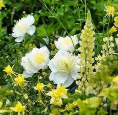 Paeonia, Honey gold.  Claus Dalby