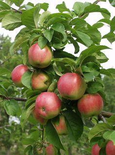 Malus domestica Konsta, vintersort. Nytt finskt äpple. Trädet växer svagt och brett med jämn skörd.  Frukten mognar i slutet av september. Stor till medelstor frukt med vitt och fast fruktkött. Skalet genomgående rött. Hushållsäpple med mild, syrlig arom. Hållbarhet: ca 3 månader. Bild: Taimistoviljelijät
