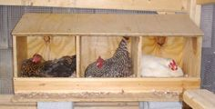 10 tips to train your hen to lay eggs in her nest box - The Poultry Guide