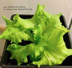 Salat indoor #LED Lettuce, Indoor, Vegetables, Food, Horticulture, Lighting, Interior, Veggie Food, Vegetable Recipes