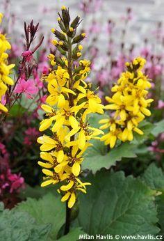 Ligularia 'Gold Torch'