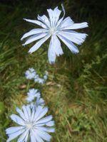 Cornflower Blue by HaleyGottardo
