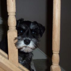 Greta is her name and this adorable little mini Schnauzer puppy is so cute I want to take her home, OH she is so so darling