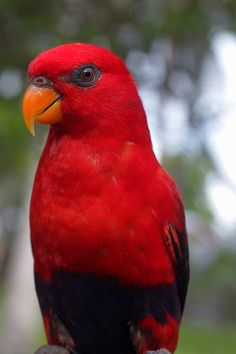 Violet-necked Lory - Adult - Colorful birds
