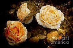 Rosas Art - Peach Blooms  by Clare Bevan