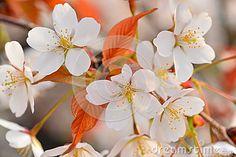 Cherry Blossoms in Spring Sakura