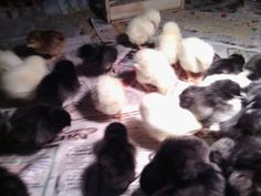First chicks