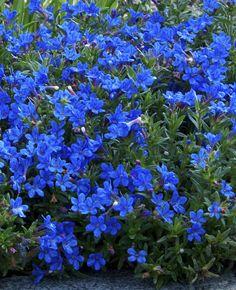 Ihastuttava maanpeitekasvi. Ground Cover Plants, Horticulture, Outdoor Gardens, Home And Garden, Heavenly, Green, Blue, Image, Gardening