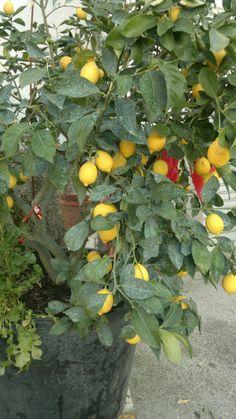 i limoni, cytrynki www.plorit.wordpress.com