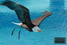 Aigle pêcheur au #spectacle @ZooParc de Beauval (Officiel). Altesse en plein vol...