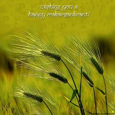 Dgreetings - Wish your friends Happy Makar Sankranti through this card. Festivals Of India, Indian Festivals, Happy Makar Sankranti, Baby Girl Dresses, Wish, Blessed, Hindus, Harvest, January