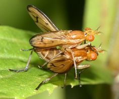 Family Sciomyzidae - Marsh Flies - Marsh Fly - Tetanocera plebeja - male - female