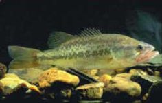 Alabama Freshwater State Fish: Largemouth Bass