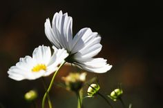 "500px / Photo ""White cosmos"" by marbee .info"