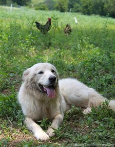 Don't Give Up on Your Failed Guard Dog - Turn a failed livestock guardian dog into a useful farmhand or companion with these tips.  Photo by Stephanie Staton (HobbyFarms.com)