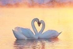 圣诞快乐(Cygnus olor) - 冬日暖阳里的爱恋......拍于新疆伊犁