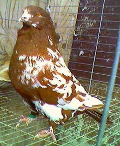 Giant Runt Pigeons For Sale we have all types of pigeons fro sale