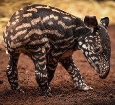 Margery the Malayan tapir has given birth to a healthy male calf. Our keepers have named him Solo and say that although he's still a little shaky on his tiny legs. Chester Zoo, United Kingdom.