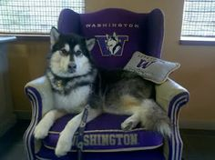 DUBS the mascot for University of Washington... I find it interesting that the Huskies mascot is not a Husky but a Malamute. Oh well, Dubs is so adorable... GO DAWGS!!!