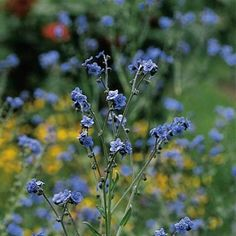 Chinese Forget-Me-Not 'Firmament'. says it doesn't like clay but I've grown it before. True sky blue.
