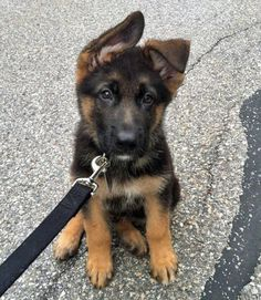 AAAAHHHHH!!!!!!!!! i really REALLY want a german shepard and im gonna name it Bear!!!!