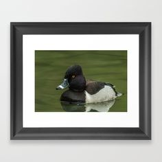 https://society6.com/product/ring-necked-duck_framed-print