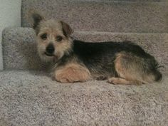 Barkley*(cl)good with kids is an adoptable Terrier Dog in Sacramento, CA.                  BARKLEY, (A COURTSEY LISTING BY SCOOTERSPALS)         PLEASE CONTACT;  Andi9462@g...