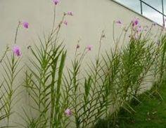 Orquídea Bambu - Palmeiras Plantas - Mudas, Árvores, Frutíferas, Ornamentais, Palmeiras