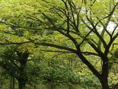 Elm trees cloned to prevent extinction  About seventy-eight species of oak trees were globally threatened with extinction already in 2008, as well as conifers, magnolias, ginkgo biloba trees and many others.