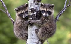 A pair of raccoon babies clinging to a tree in the Rocky Mountains, Montana.  Picture: Tim Fitzharris/Minden/Solent