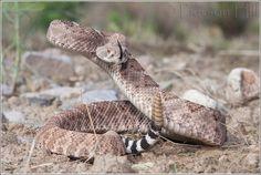 Las 22 serpientes venenosas de Estados Unidos con foto – Especial