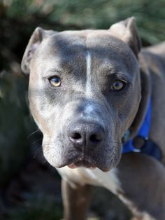 *ADOPTED* A035418  My name is MR RIPLEY. I am a male, gray and white American Pit Bull Terrier.  The shelter staff think I am about 2 years and 1 month old.  I have been at the shelter since Feb 09, 2015.