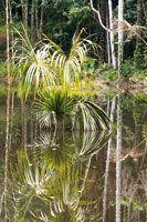 El aguajal o canaguchal es un ambiente pantanoso de aguas negras donde predomina la palma de aguaje o canangucha, Mauritia flexuosa, hábitat...