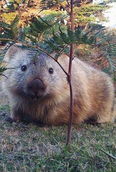 Fluffy wombat, Maria Island Tasmania, Australia