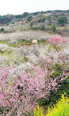 Plum blossoms in full bloom, Ayabeyama,  Hyogo, Japan