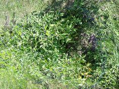 Tomato garden update 7-5-13.