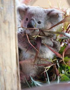 baby-koala.jpg♥.•:*´¨`*:•♥