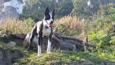RAYO URGENT Type : Bull Terrier Sexe : Mâle Age : Junior Couleur : Noir et blanc Taille : Moyen Lieu : Paris - 75 (Île-de-France) Refuge : ALERTE-SOS (Paris) Tél : 06.61.27.04.46 OU 0142511879 Rayo, croisé Bull Terrier 22 kilos, il s'entend avec tout le monde il vient de la fourrière, , pas ok chats, très intelligent. Il est gentil .