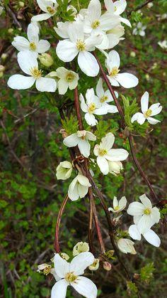 Clematis montana Clematis Montana, Bhutan, Plants, Plant, Planets