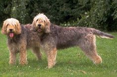 Gentle natured and amiable, the Otterhound is a delightful breed of dog that practically any dog lover can easily fall in love with. However, they are in no way a low-maintenance breed for the casual dog owner and require the care and attention of a dedicated and experienced owner.