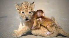 "Lion and Ape Baby in ""Guaipo Manchurian Tiger Park"", Shenyang, China"