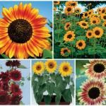 Seeds for Beginners: Sunflowers