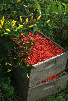 Tabasco peppers just after harvest. Avery Island, LA